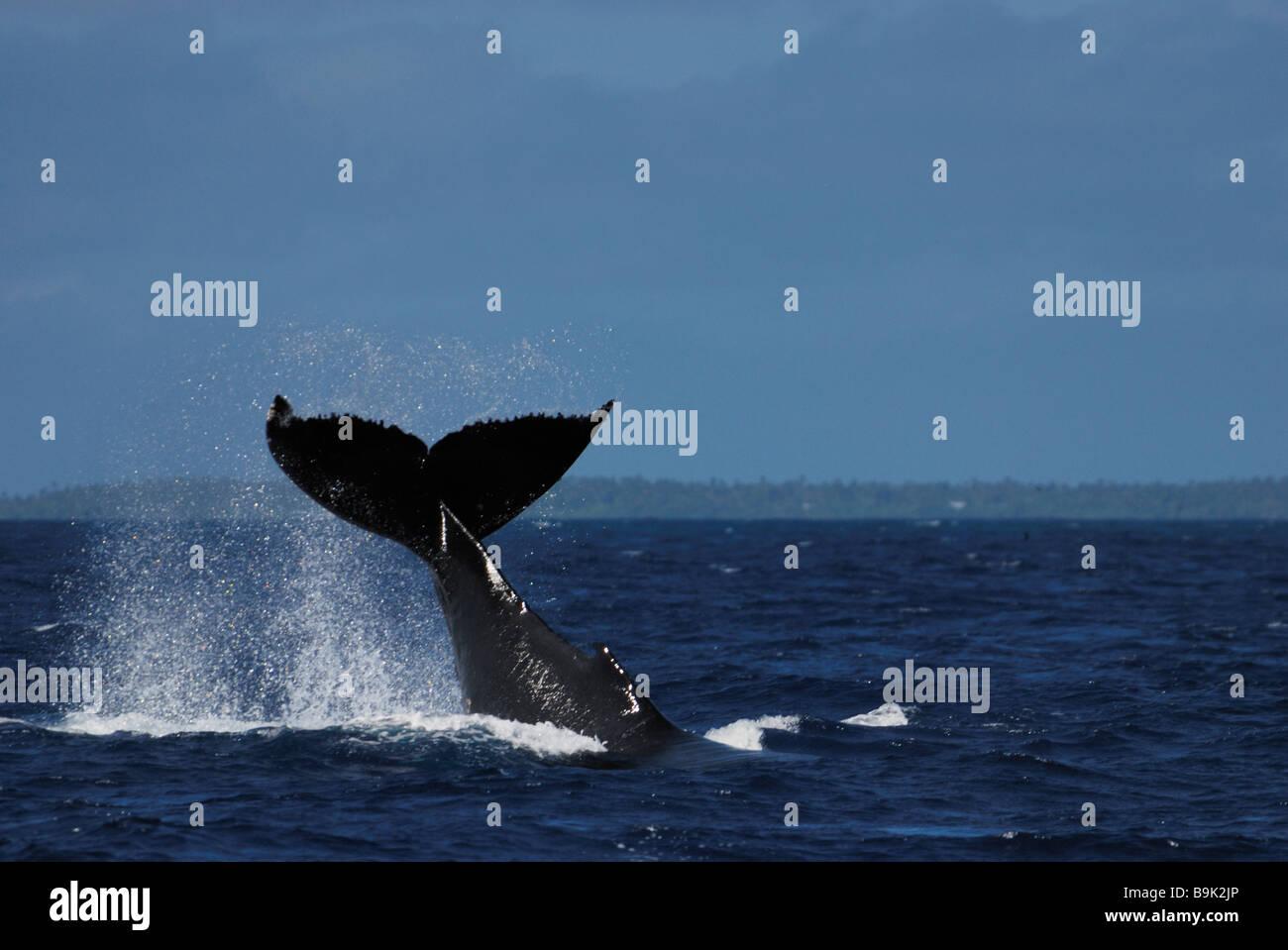 Humpback whale Megaptera novaeangliae tail slapping Ha apai Group Tonga Stock Photo