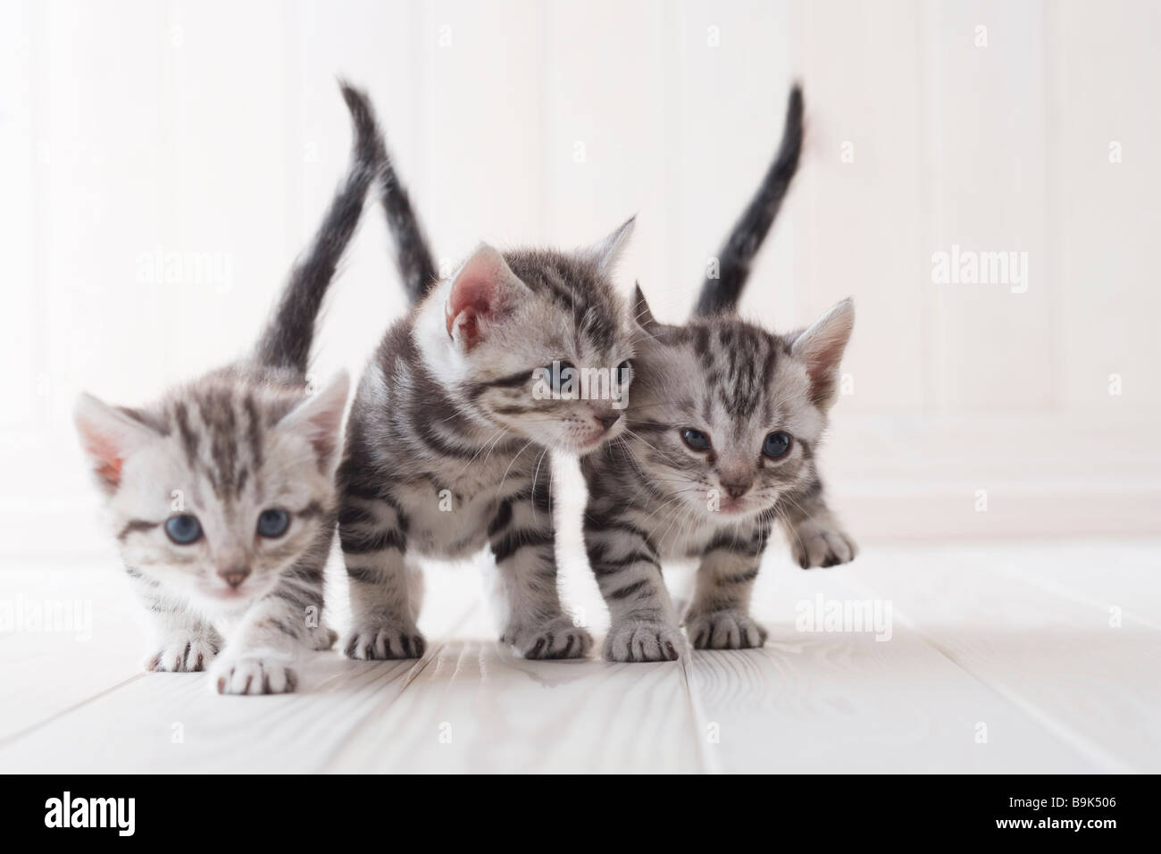 Three American shorthair playing Stock Photo