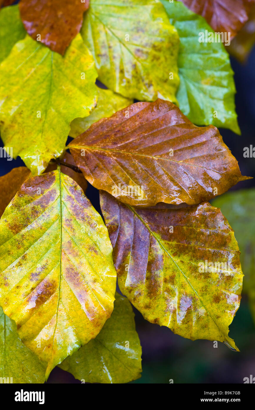 Fagus sylvatica beech leaves in autumn, UK - Stock Image