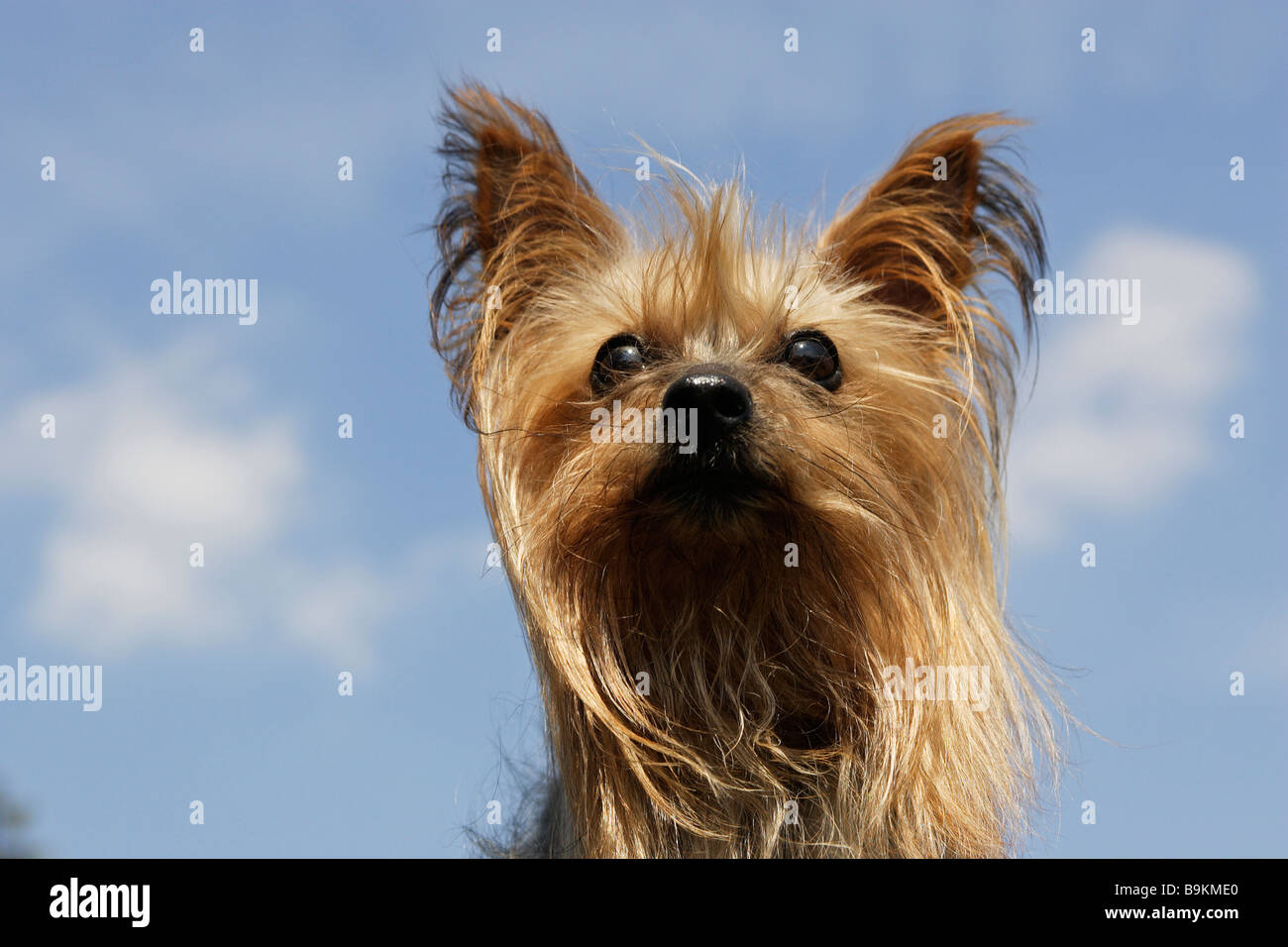 Yorkshire Terrier (Canis lupus familiaris), portrait - Stock Image