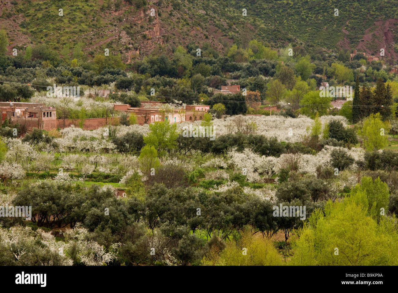 Springtime in the Ourika valley with almond blossom and Berber houses The High Atlas Haut Atlas mountains Morocco - Stock Image