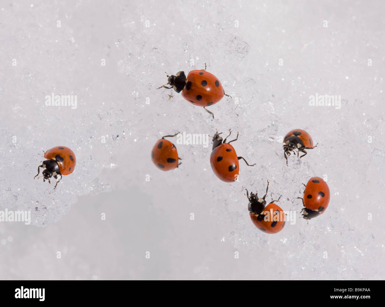 7-spot ladybirds Coccinella septempunctata gathered en masse in the snow at 2000 metres in the Middle Atlas Mountains - Stock Image