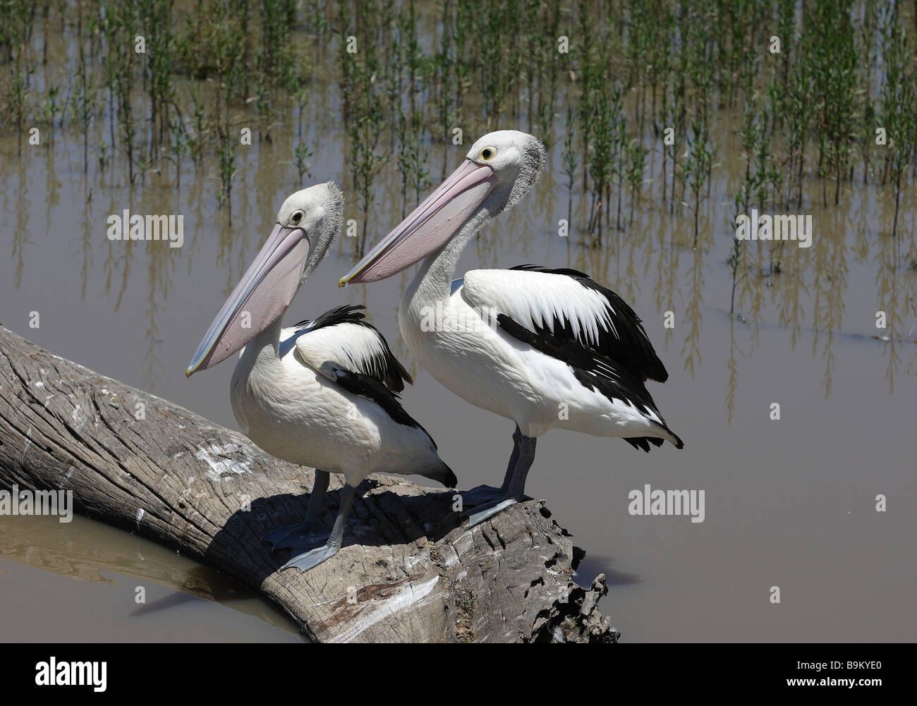 Two pelicans sitting on a tree log in water,Gippsland, Victoria, Australia - Stock Image