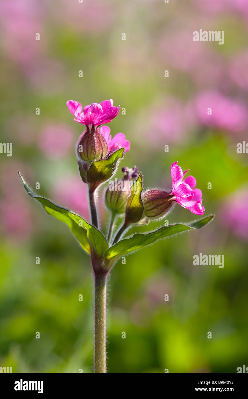Red Campion flowers silene dioica on the cliff tops of the Flamborough Headland Heritage Coast East Riding of Yorkshire Stock Photo