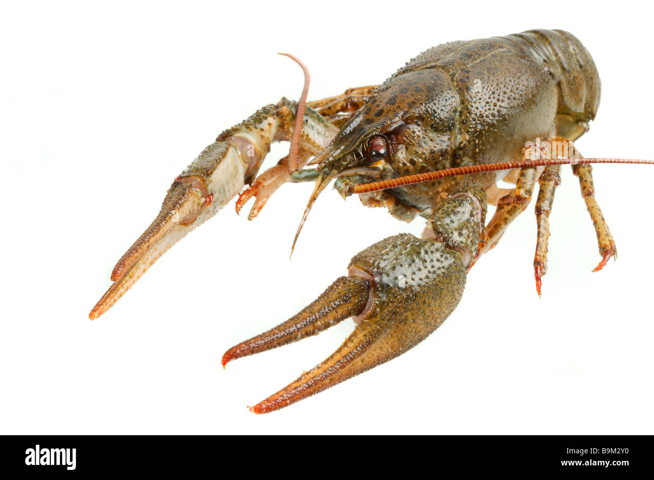 River crayfish on a white background It is very tasty and dietary food - Stock Image