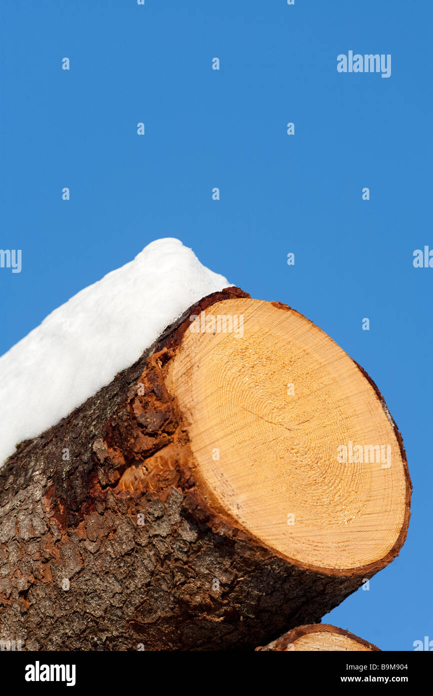 Sawed spruce ( picea abies ) log head - Stock Image