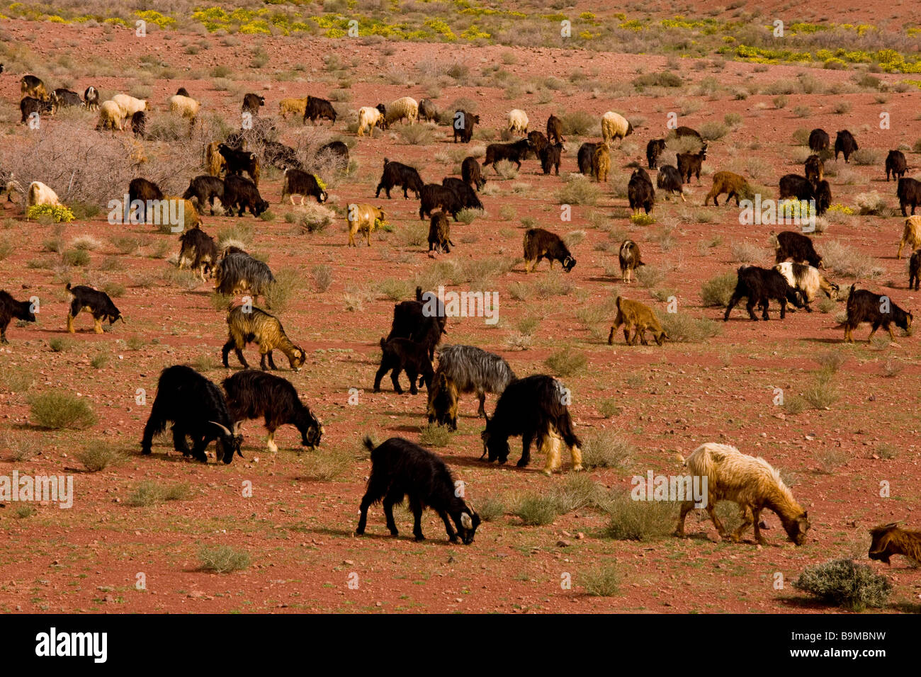 Flock of goats owned by Berbers in the desert near Tazenakht on the edge of the Sahara Morocco - Stock Image