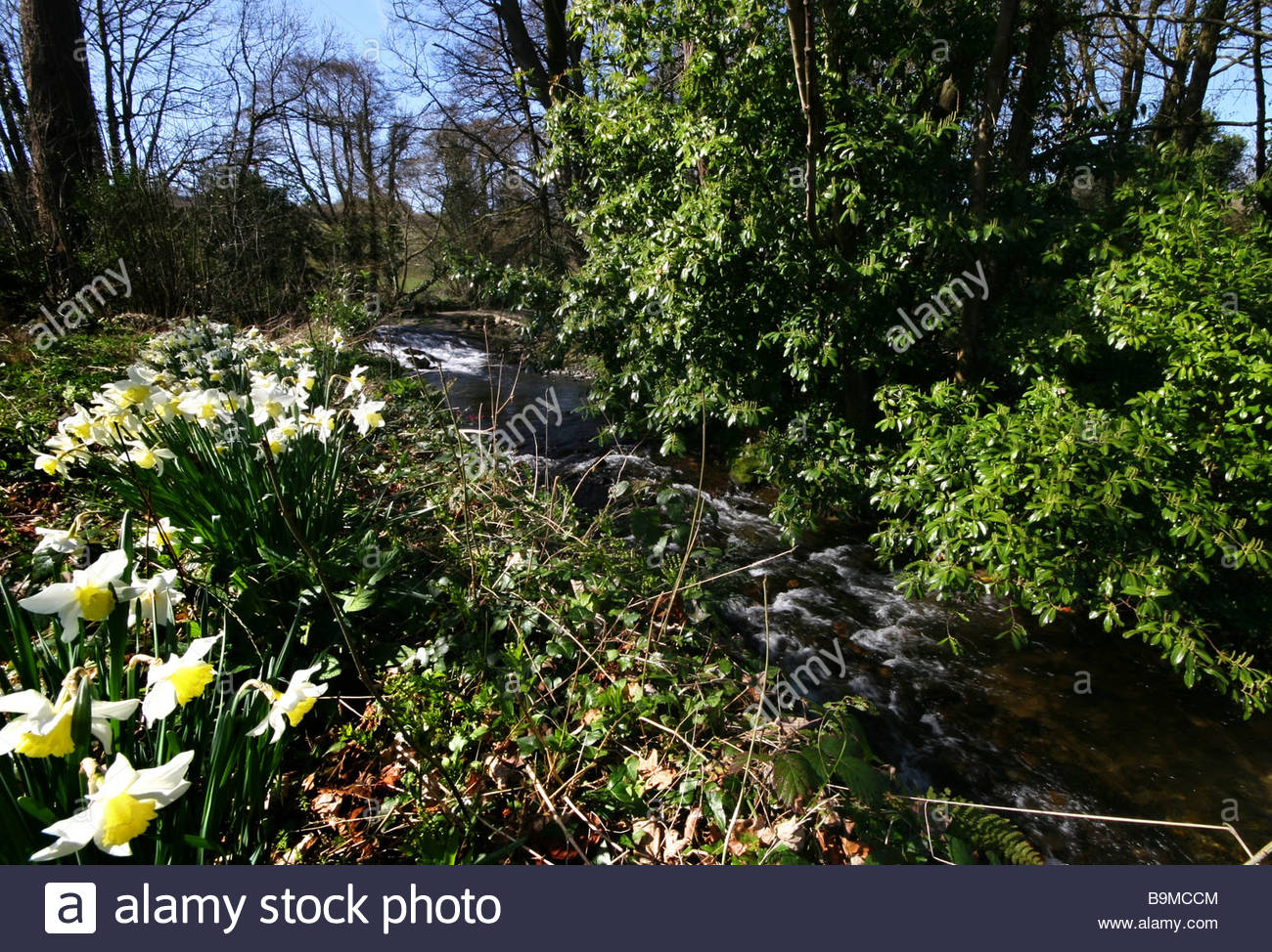 Springtime Daffodils bloom near to a river and a roadbridge in an area of outstanding beauty in Devon. - Stock Image