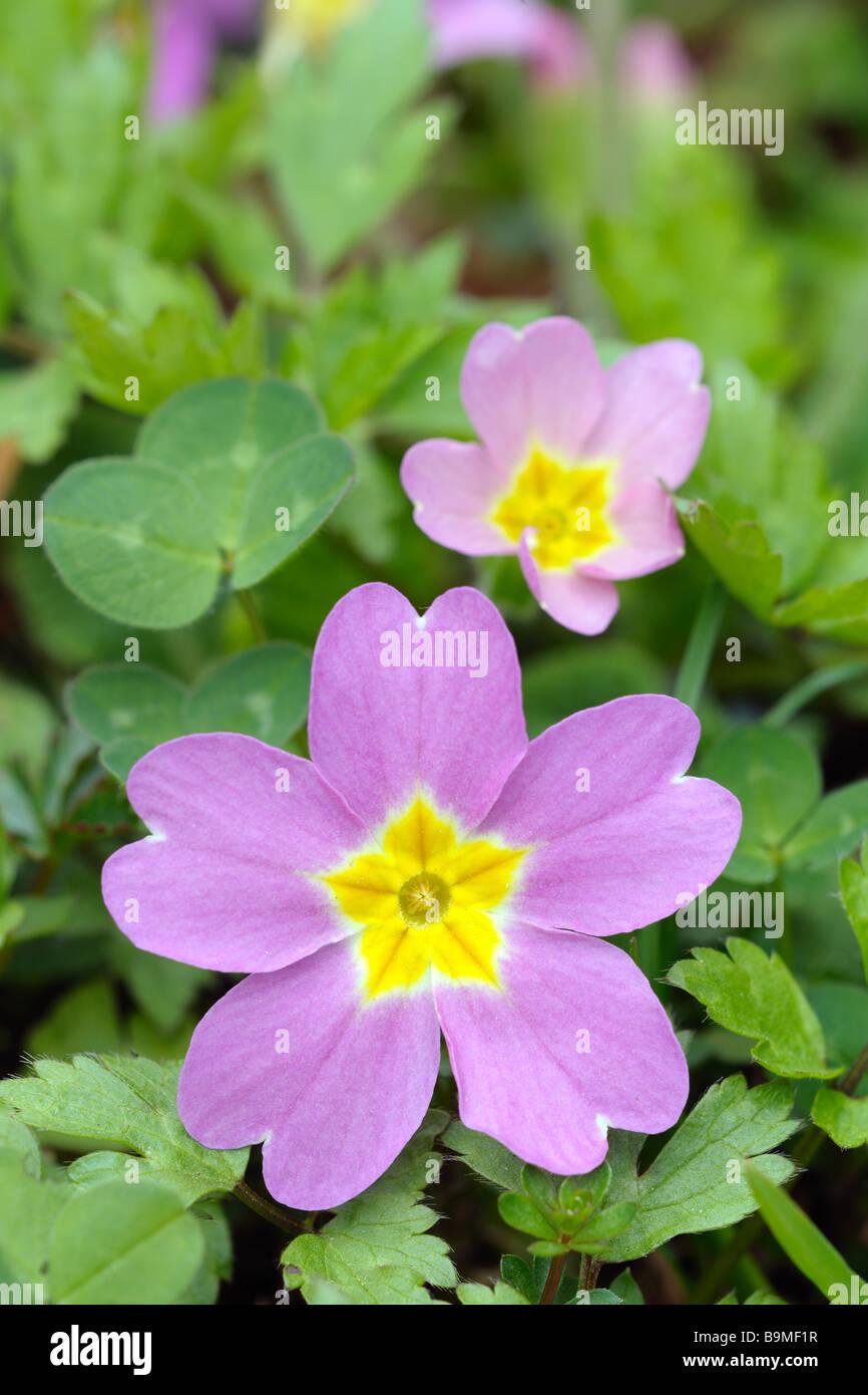 Thrum eyed magenta primrose primula vulgaris subspecies sibthorpii - Stock Image