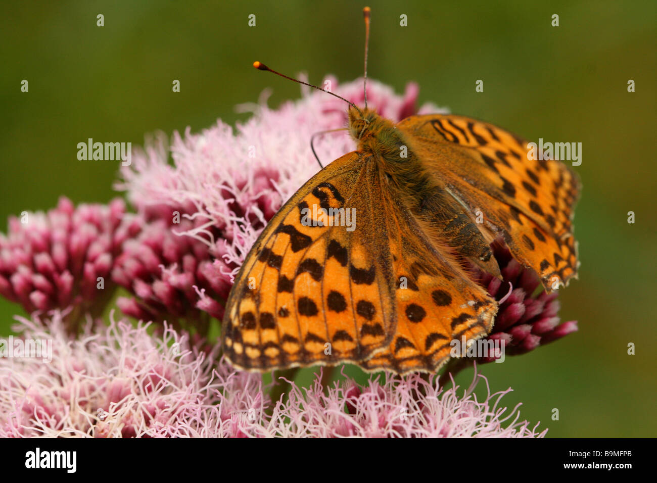 Butterfly, High Brown Fritillary, Argynnis adippe showing detailed macro shot of wing pattern whilst feeding on - Stock Image