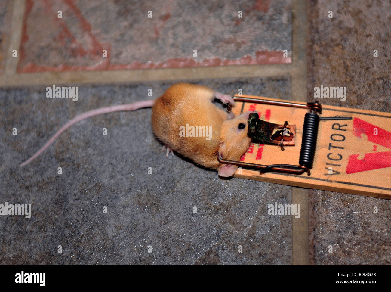 A common house mouse, Mus maniculatus, in a mousetrap. USA - Stock Image