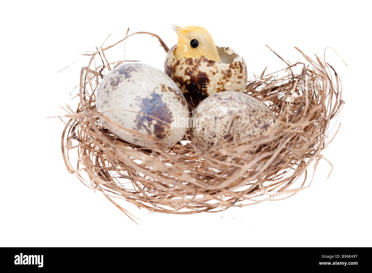 easter chick in nest isolated on a white background - Stock Image