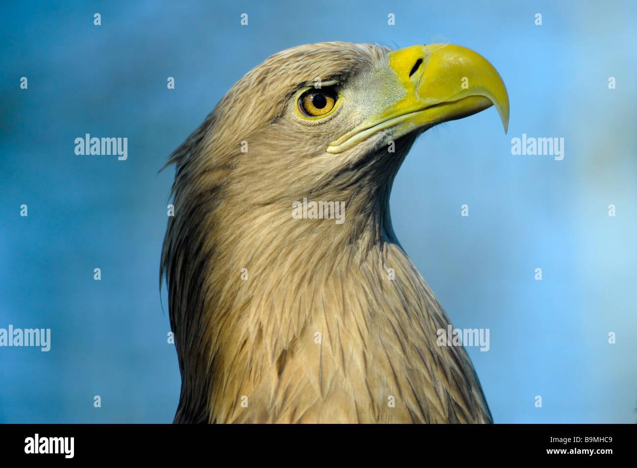 White tailed Eagle also known as sea eagle Haliaeetus albicilla Stock Photo