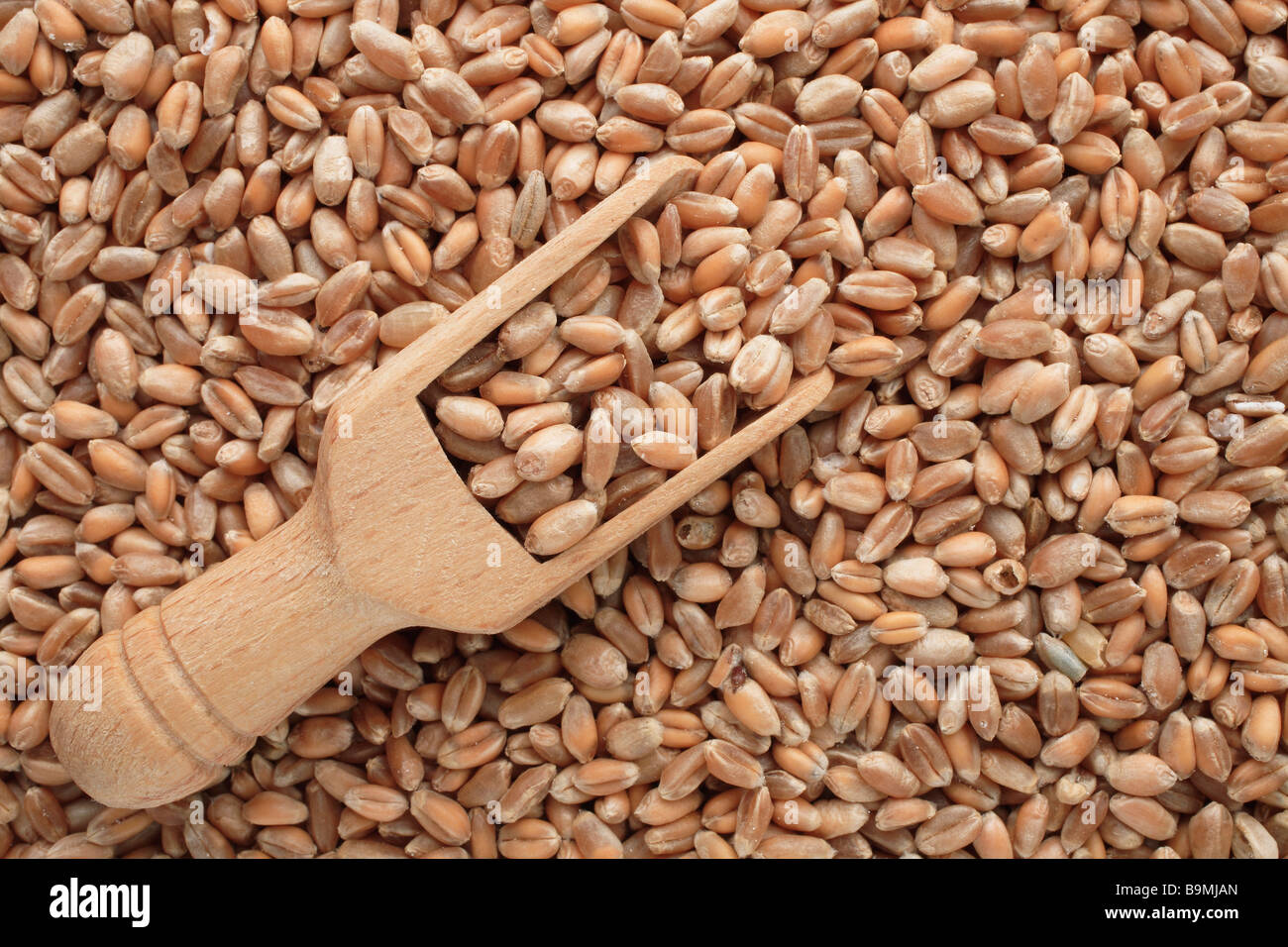 wheat Triticum spp - Stock Image