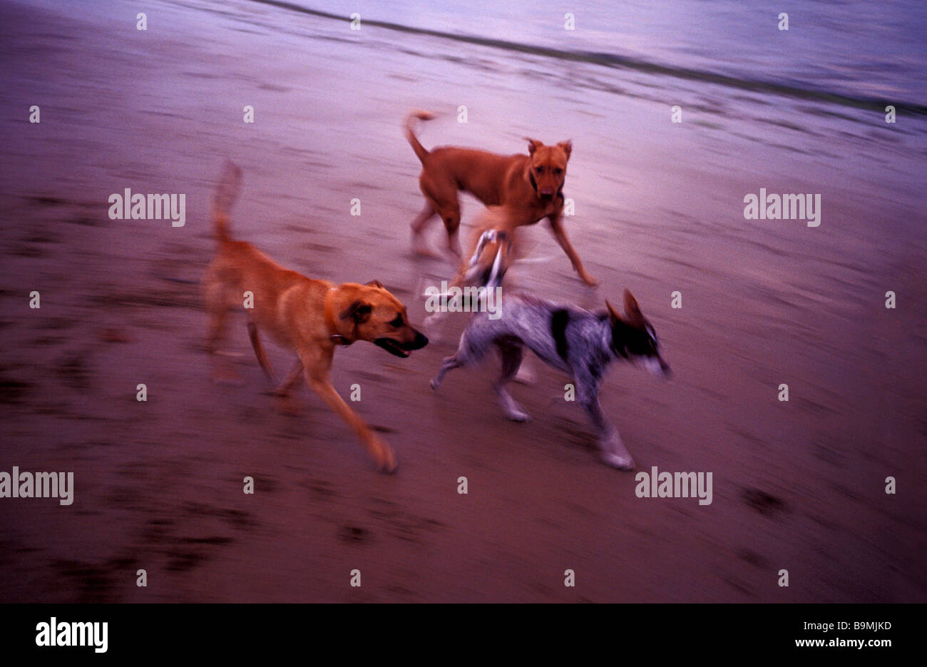 Dogs running along the beach - Stock Image