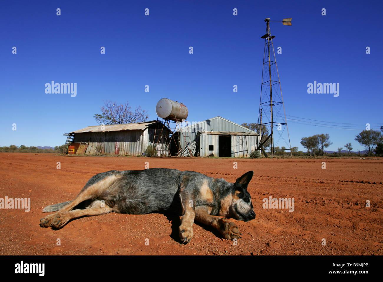 Cattle dog asleep on farm Stock Photo