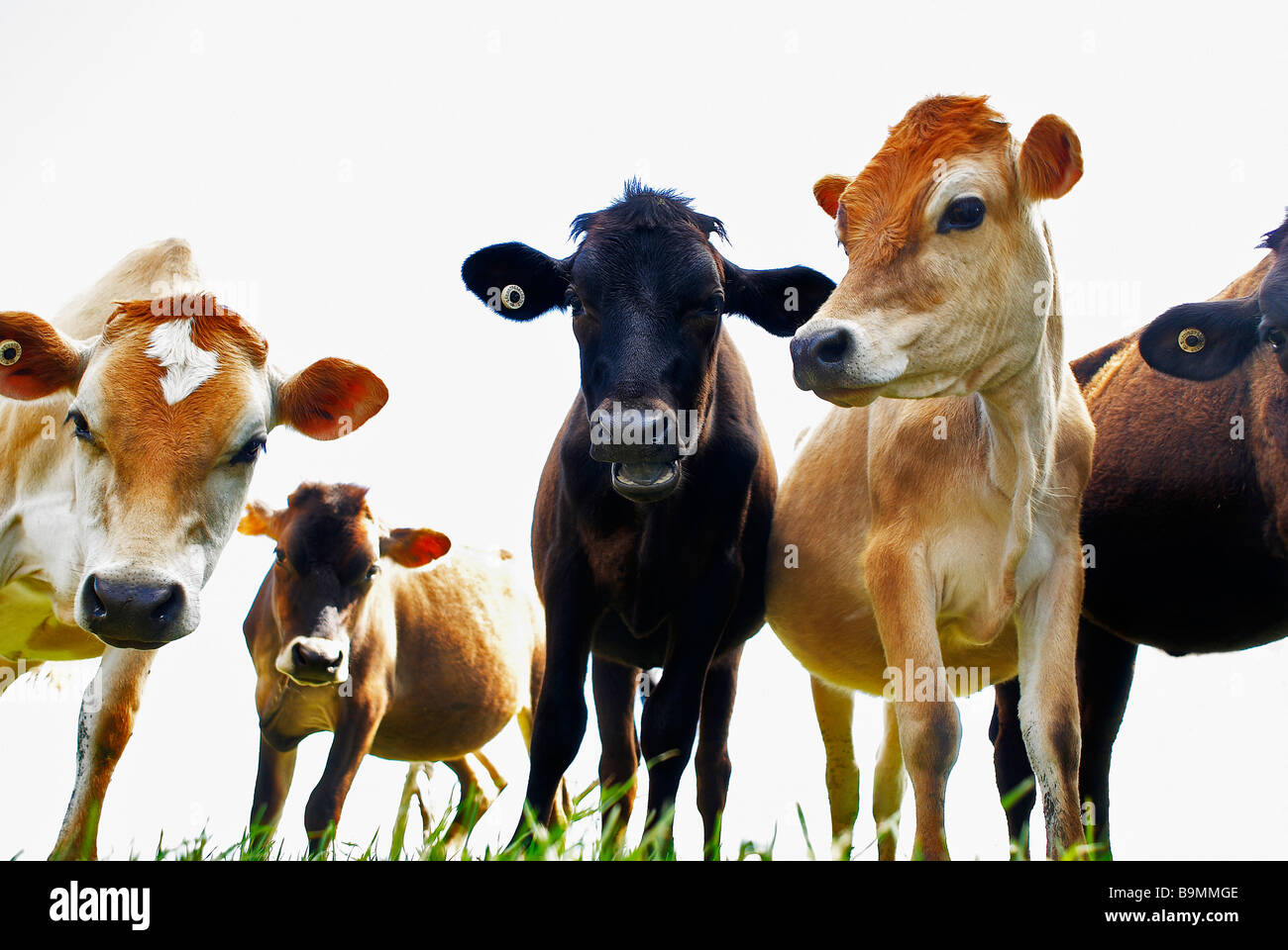 Dairy cows - Stock Image