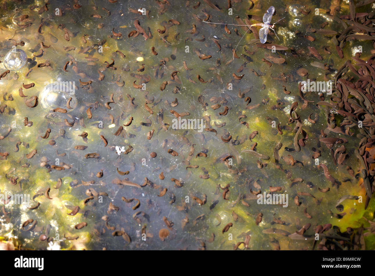 Frogspawn of Common Frog (Rana temporaria) in Garden Pond, in a Garden in Wales, UK - Stock Image