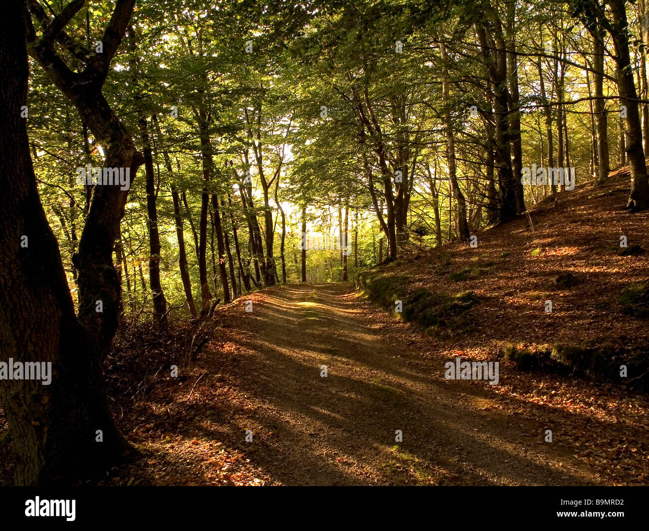 idyllic forest path through typical beech forest - Stock Image