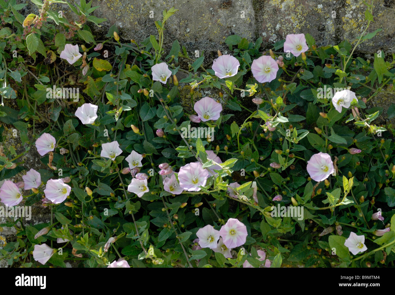 Field Bindweed (Convolvulus arvensis) with its pink and white trumpet shaped flowers climbs up a garden stone wall - Stock Image