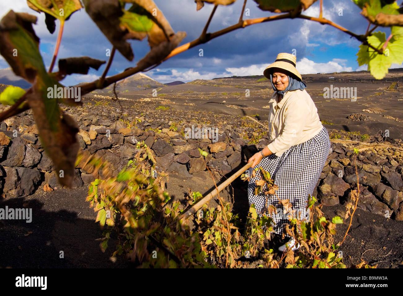Spain, Canary Islands, Lanzarote Island, Biosphere reserve, La Geria, peasant working in the vineyards growing on - Stock Image