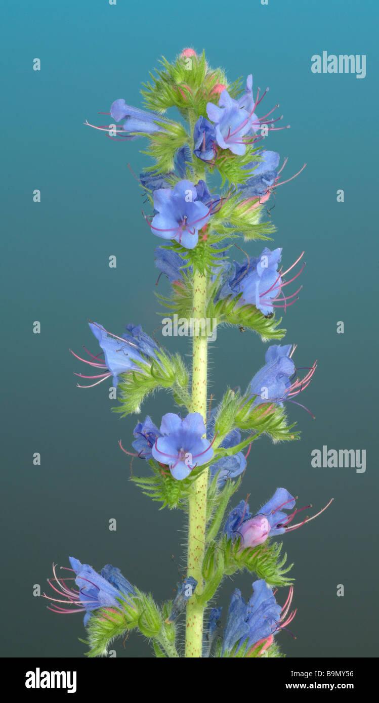Blossom of medicinal plant Natternkopf Blaue Ochsenzunge Blue echium vipers bugloss echinum vulgare - Stock Image