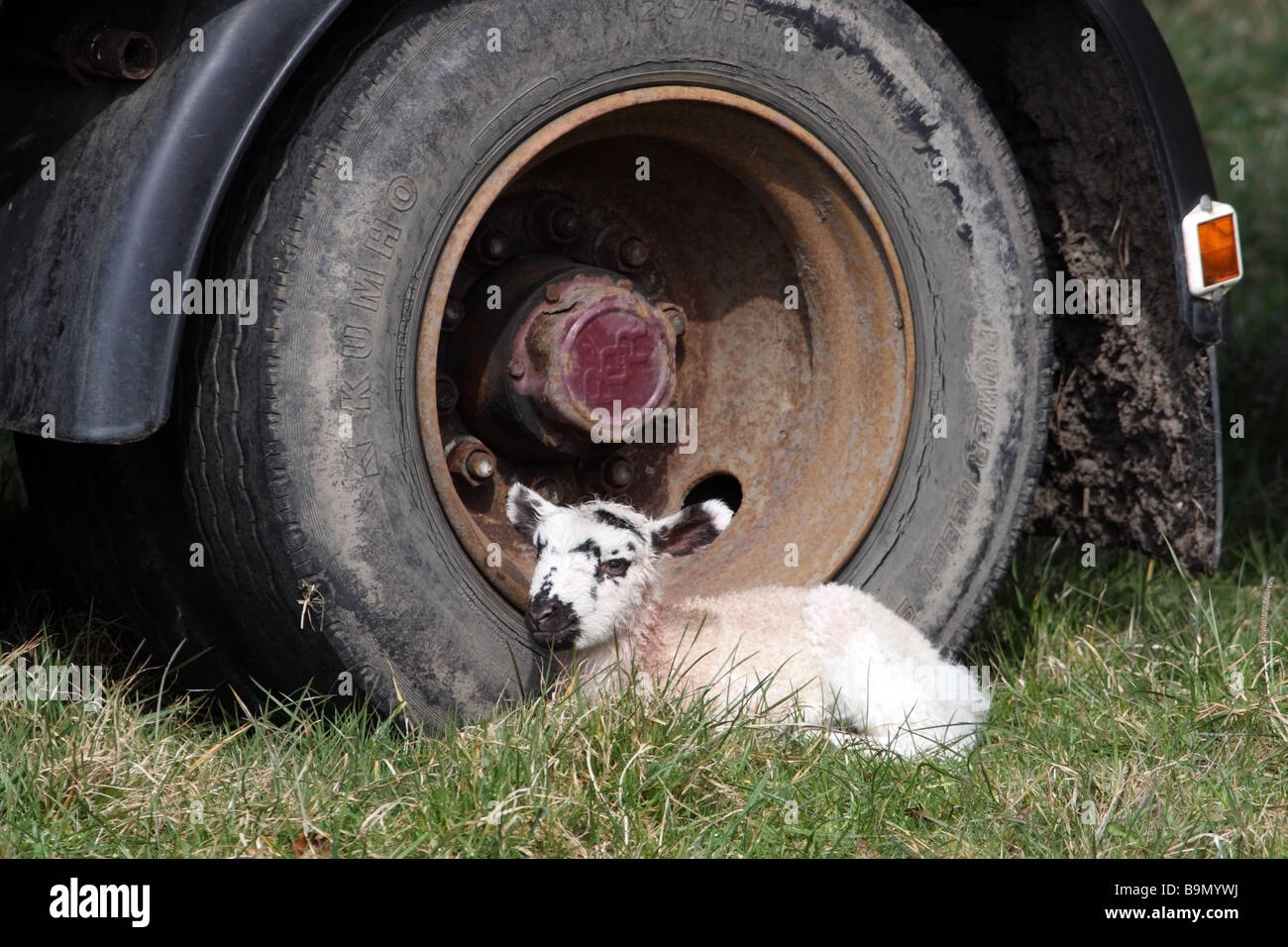 Newborn Lamb Sheltering Next to a the Wheel of a Farm Trailer - Stock Image