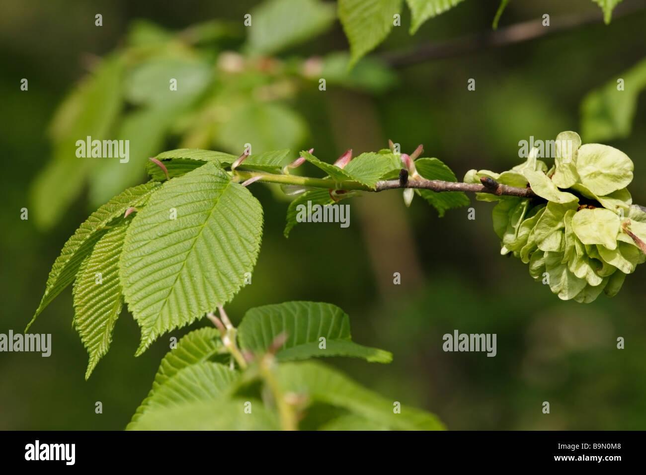 Wych Elm Ulmus glabra United Kingdom - Stock Image