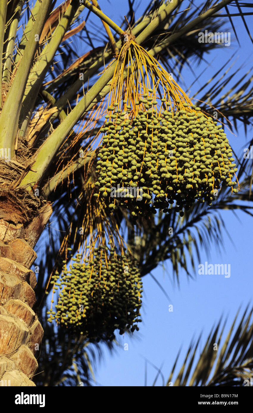 Egypt, Nile Valley, Luxor, date palm tree Stock Photo
