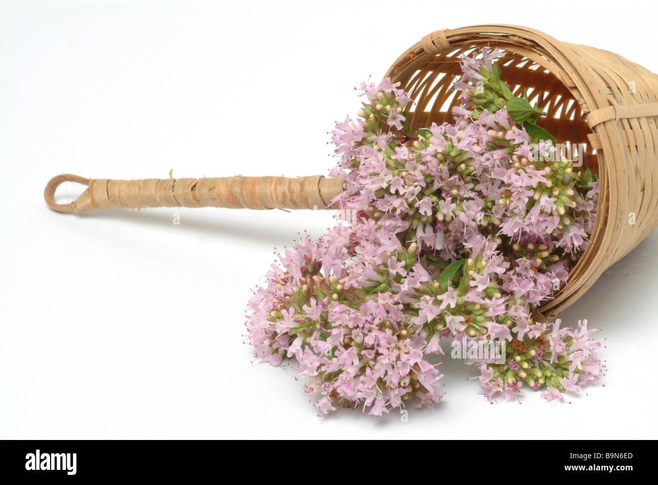 Medicinal plant Dost Oregano common marjoram Origanum vulgare - Stock Image