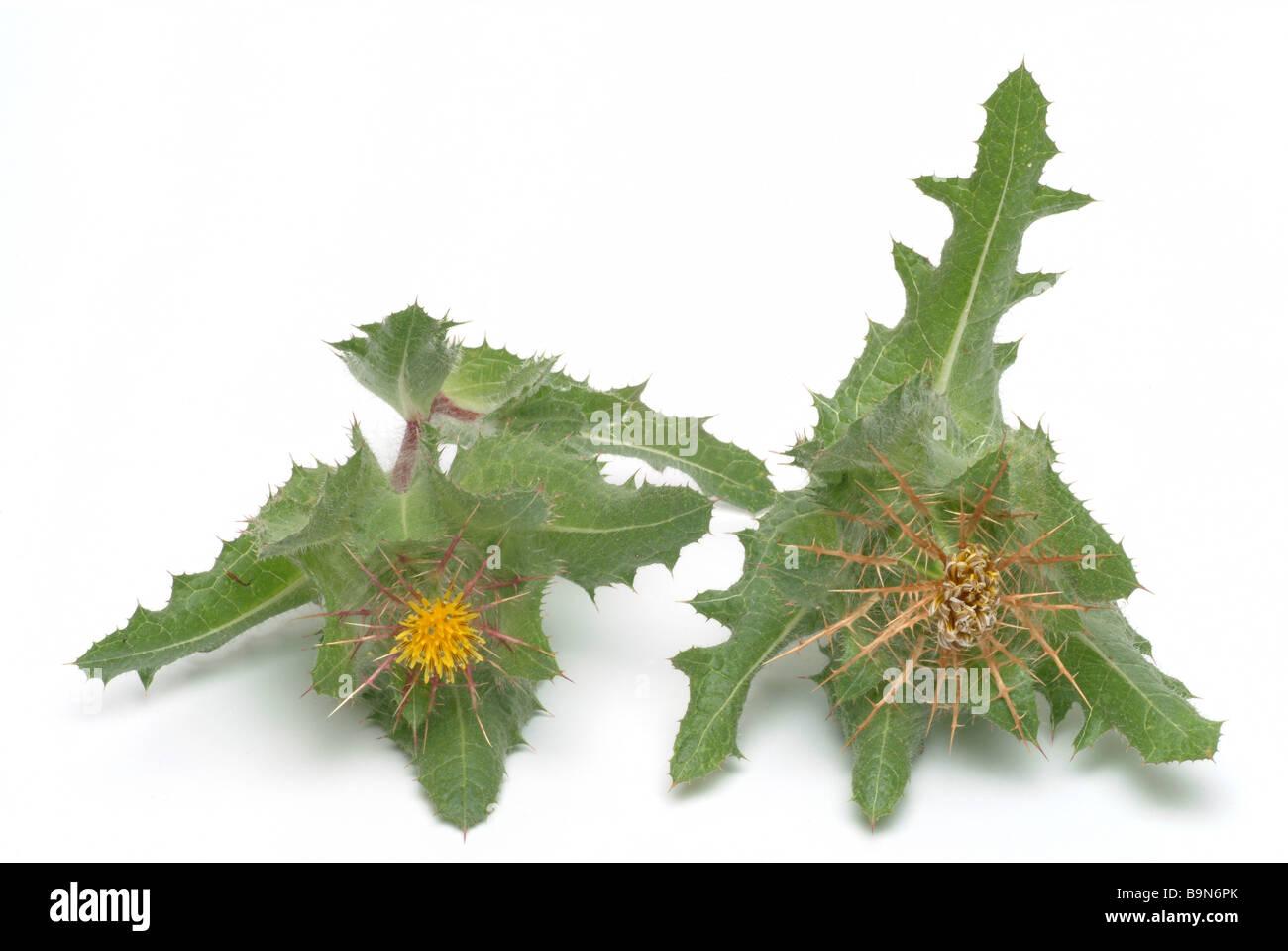 Medicinal plant Blessed Thistle Benediktendistel Benediktenkraut Cnicus benedictue - Stock Image