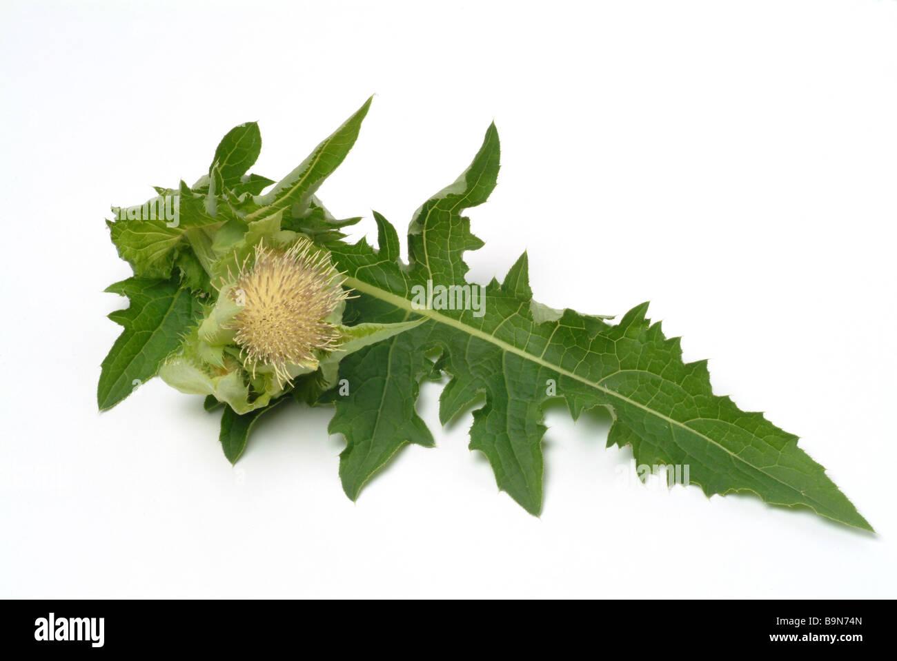 Medicinal plant Cabbage Thistle Kohldistel Cirsium oleraceum - Stock Image