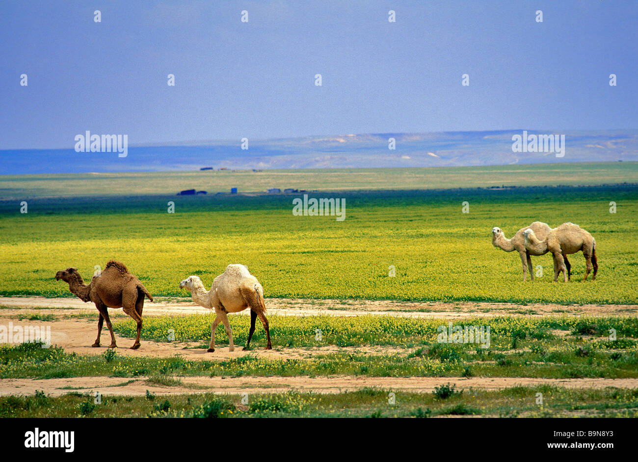 Syria, Homs Governorate, Palmyra, dromadaries - Stock Image
