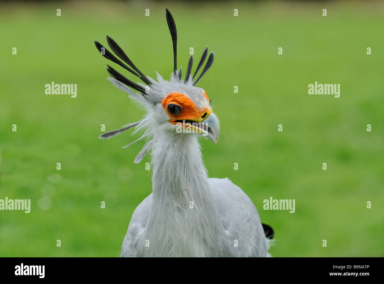 Secretary bird Stock Photo