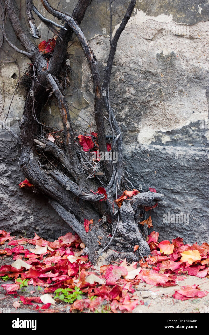Vine trunk climbing over house wall in autumn. Stock Photo
