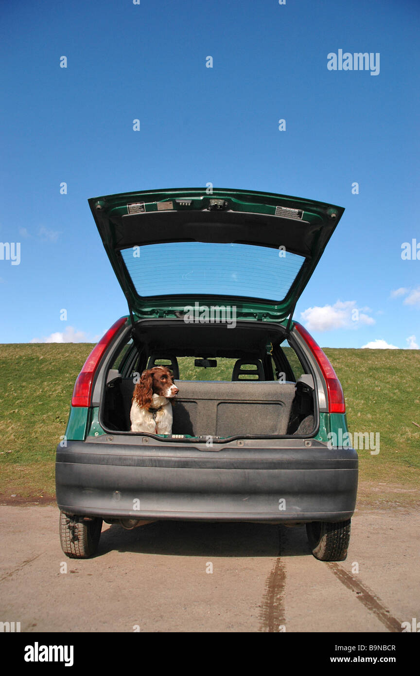 A dog waits patiently and obediently in an open car boot before being called to heel. - Stock Image