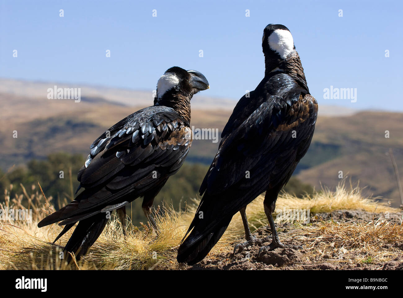 Ethiopia, Simien Mountains National Park, classified as World Heritage by UNESCO, corbivau crows (Corvus crassirostris) - Stock Image