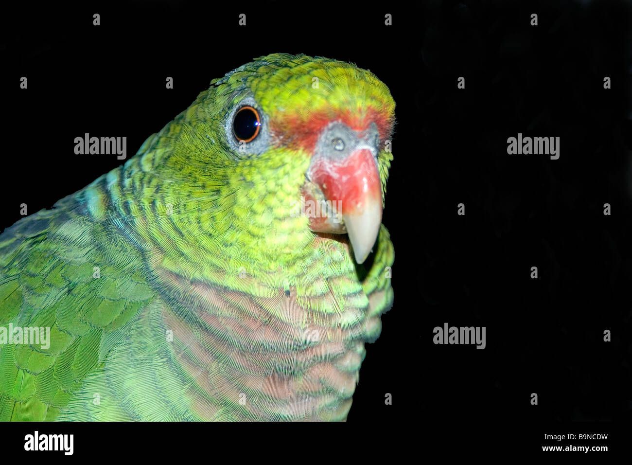 Vinaceous Amazon, Amazona vinacea, parrot critically endangered found only in South American Atlantic Forest, Caratinga, - Stock Image