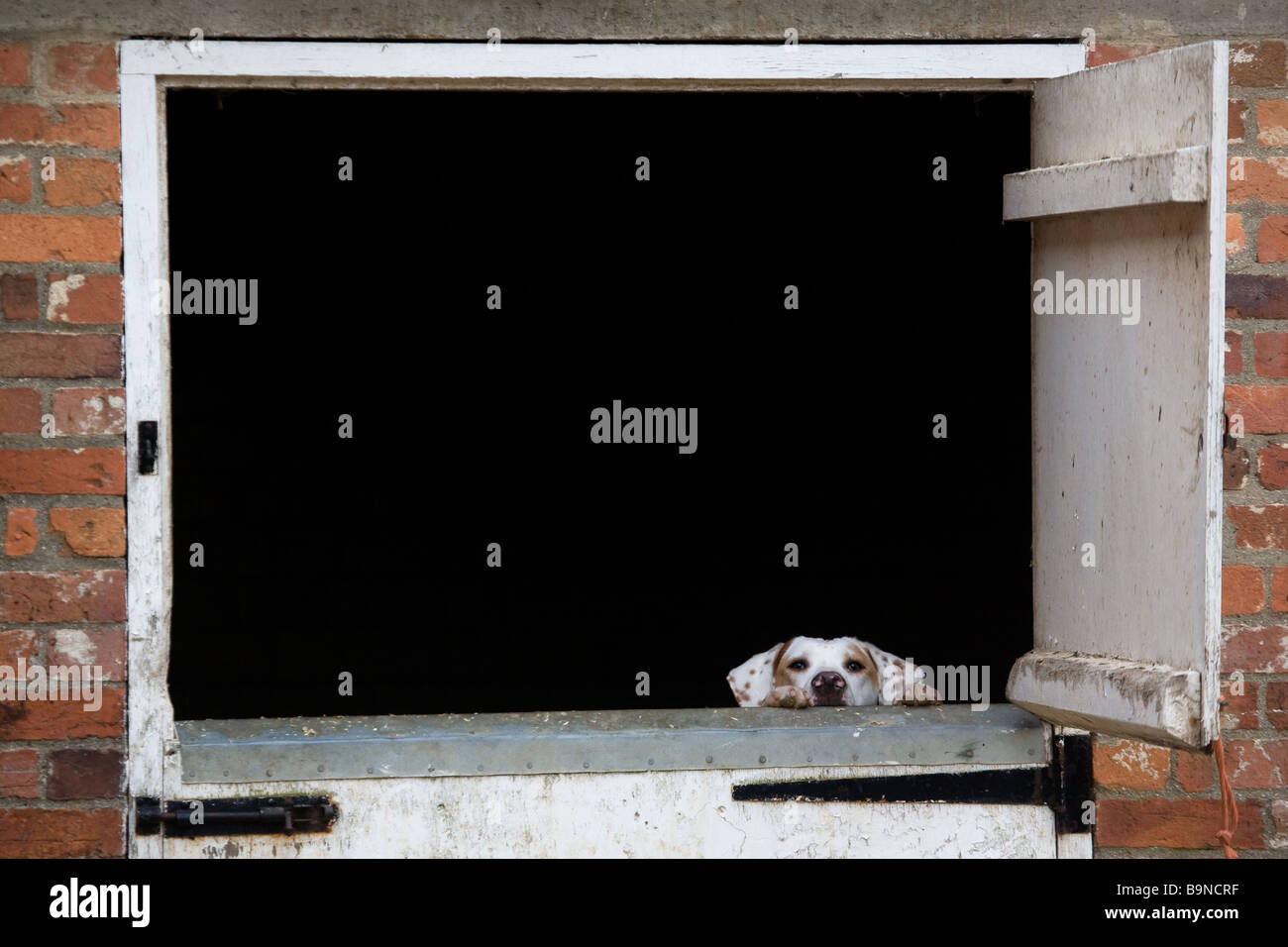 Fox Hound Looking Over A Stable Door - Stock Image