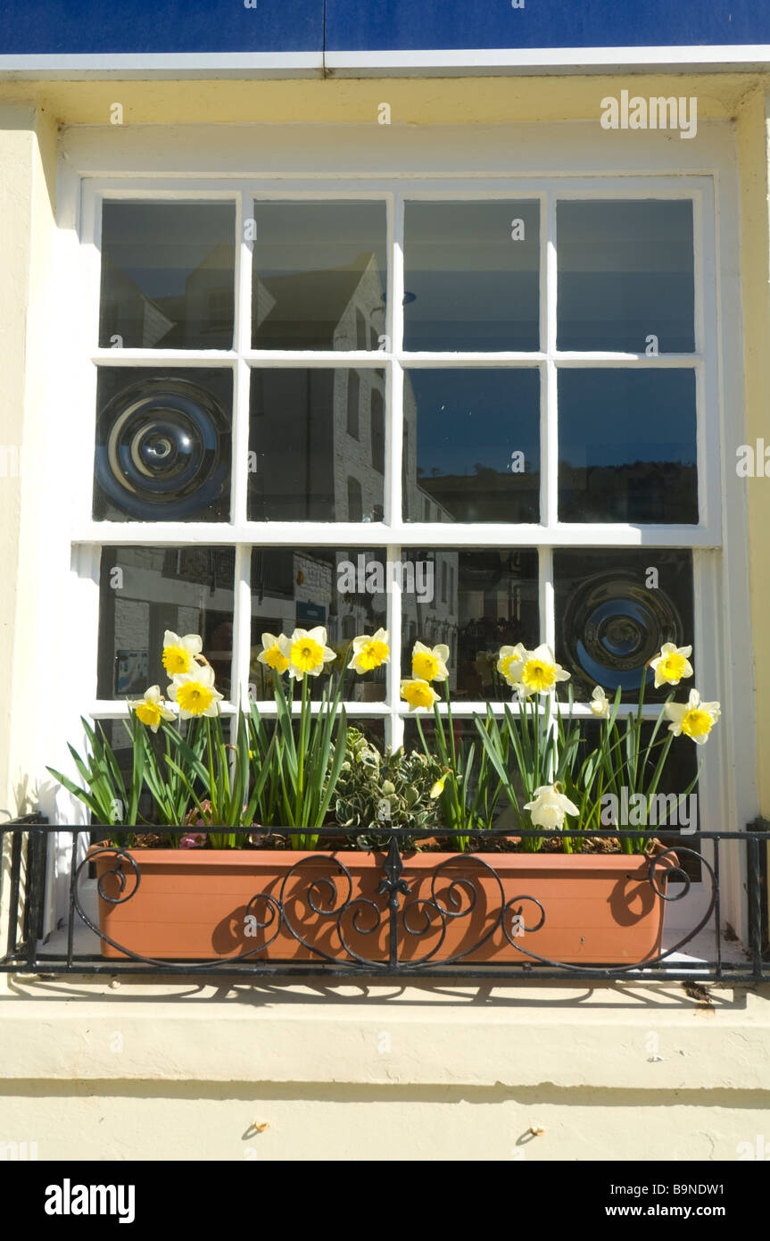Daffodils Window Sill Mevagissey Cornwall UK - Stock Image