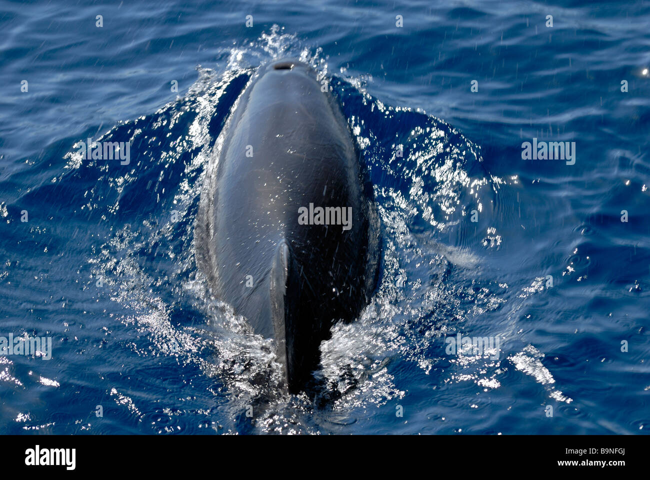 The Atlantic Spotted Dolphin, Stenella Frontalis, found on the dolphin search trip. Puerto Rico, Gran Canaria, Canary - Stock Image