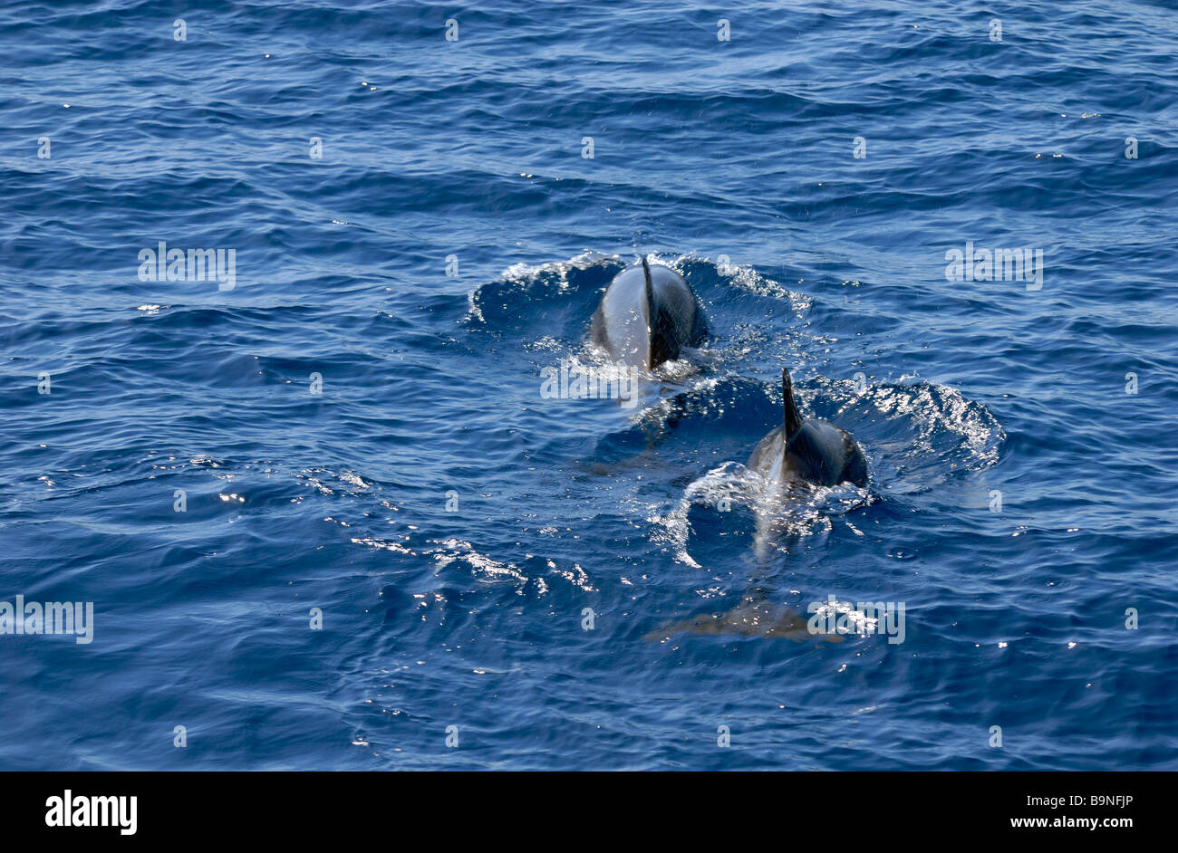 The Atlantic Spotted Dolphins, Stenella Frontalis, found on the dolphin search trip. Puerto Rico, Gran Canaria, - Stock Image