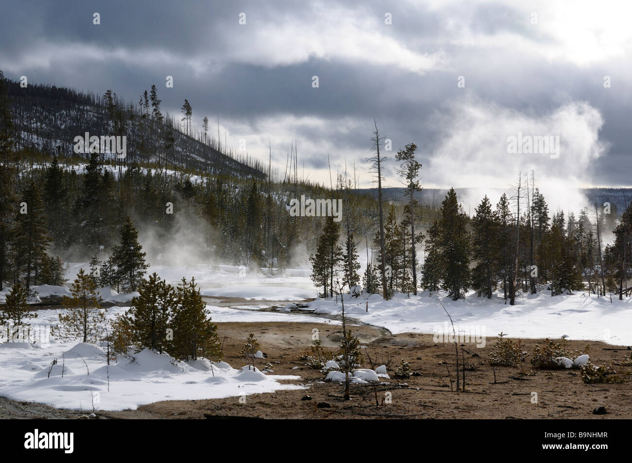 Lodgepole Pine forest in steaming Back Basin of Norris Geyser Basin Yellowstone National Park Wyoming in winter - Stock Image