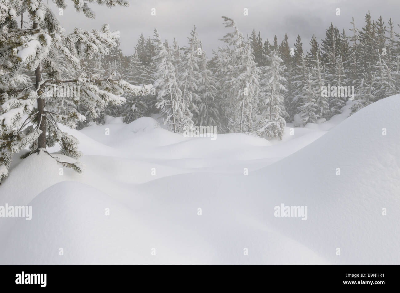 Snow covered Lodgepole Pine forest near steaming Springs of Norris Geyser Basin Yellowstone National Park Wyoming - Stock Image