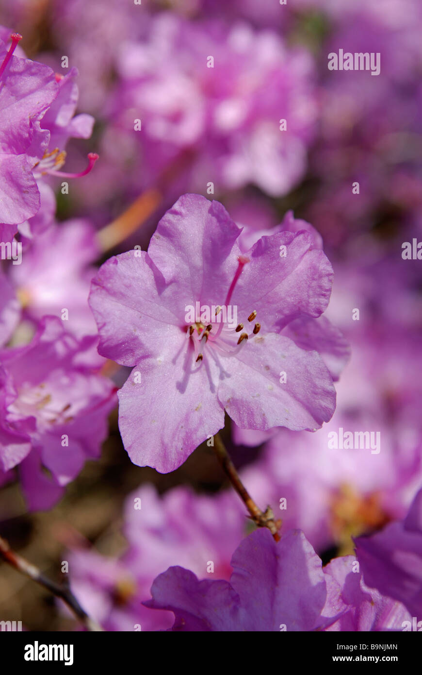 a rhododendron augustinii in full flower Stock Photo