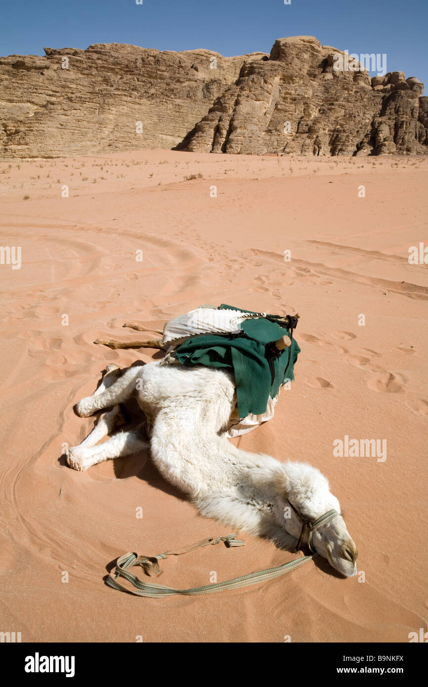 A camel resting on the sand in the desert heat, Wadi Rum, Jordan Stock Photo