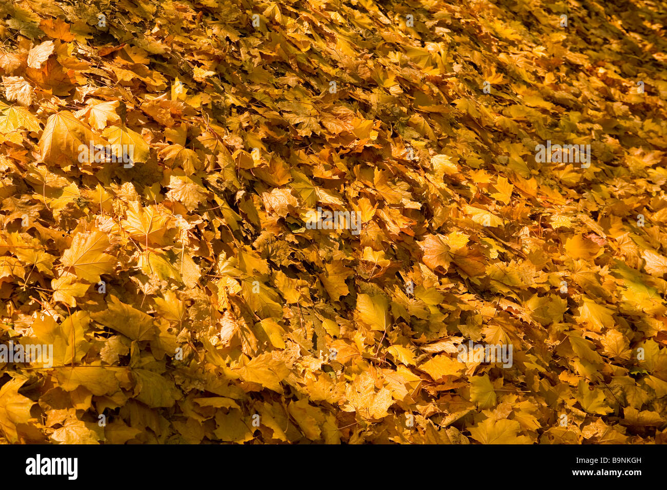abstract image of path covered in autumn golden brown leaves - Stock Image