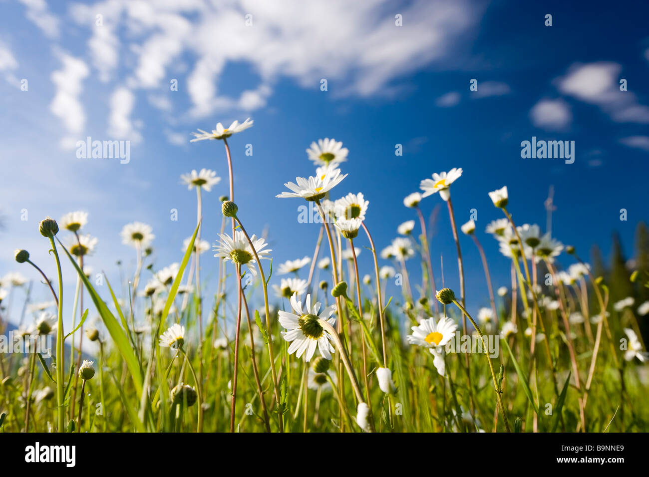 Wild Daisy's, Bellis Perennis L, Kootenay National Park, British Colombia, Canada - Stock Image