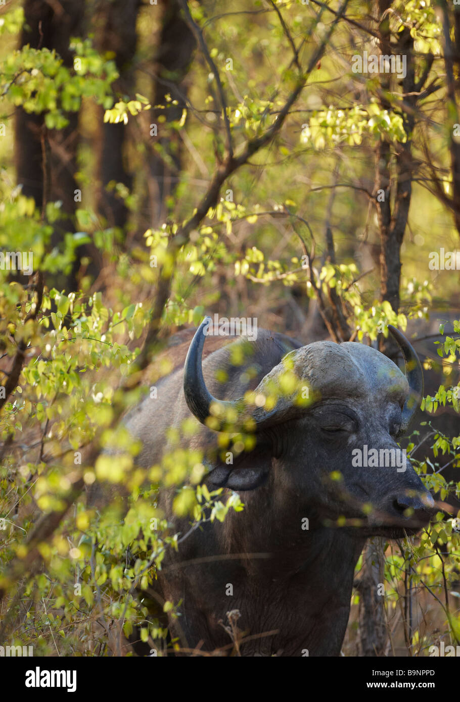 a snoozing African buffalo in the bush, Kruger National Park, South Africa - Stock Image