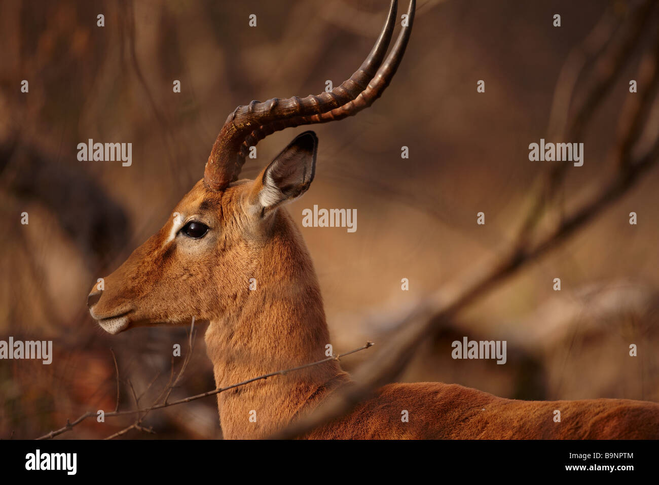 a bull impala, Kruger National Park, South Africa - Stock Image